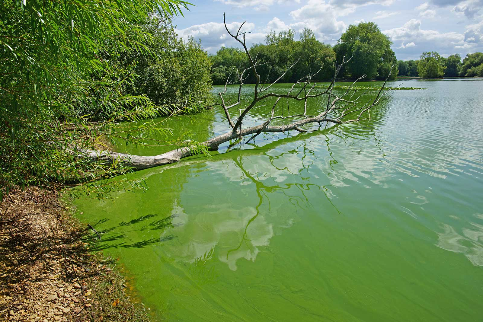 Blue Green Algae